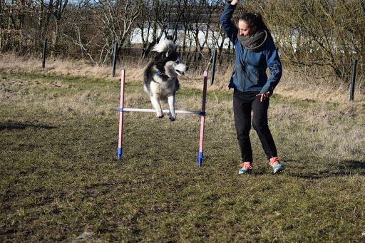 træning af husky